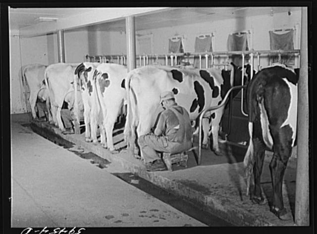 Cows being milked in dairy barn at Two River Non-Stock, Cooperative, a FSA (Farm Security Administration) co-op at Waterloo, Nebraska. The dairy herd numbers sixty-seven, all papered Holstein stock. Forty-six head are now being milked. All the whole milk is marketed in Omaha through the Nebraska-Iowa Non-Stock Cooperative Milk Association. The herd ranks among the upper ten in herd production of the herds whose production is marketed through the association