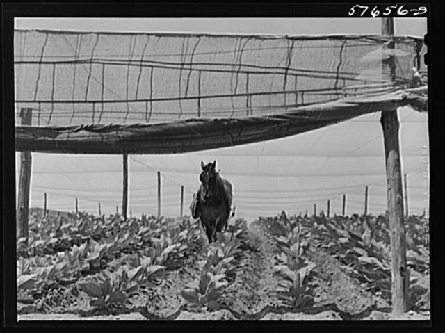 """Cultivating shade tobacco covered by """"fields"""" of cheesecloth to protect it from the sun. Near Hartford, Connecticut"""