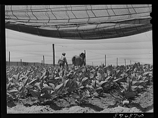 "Cultivating shade tobacco covered by ""fields"" of cheesecloth to protect it from the sun. Near Hartford, Connecticut"