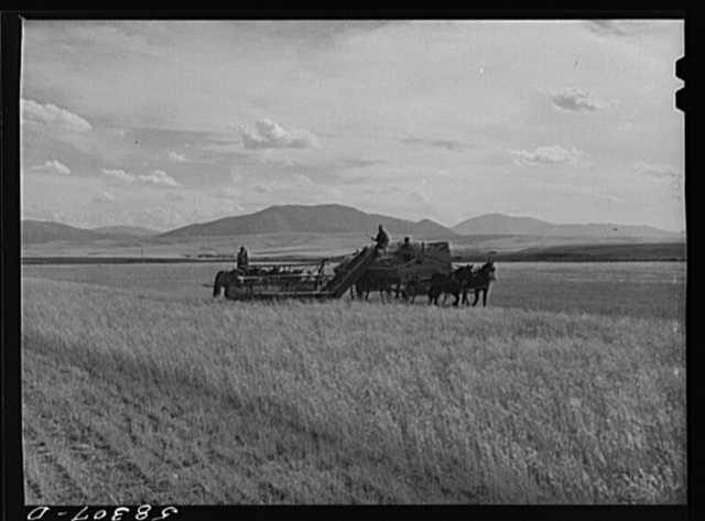 Cutting clustered wheat grass with old binder drawn by four-horse team. Judith Basin, Montana