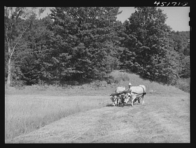 Cutting hay with oxen on the farm of Silas Butson, FSA (Farm Security Administration) client. Athens, Vermont