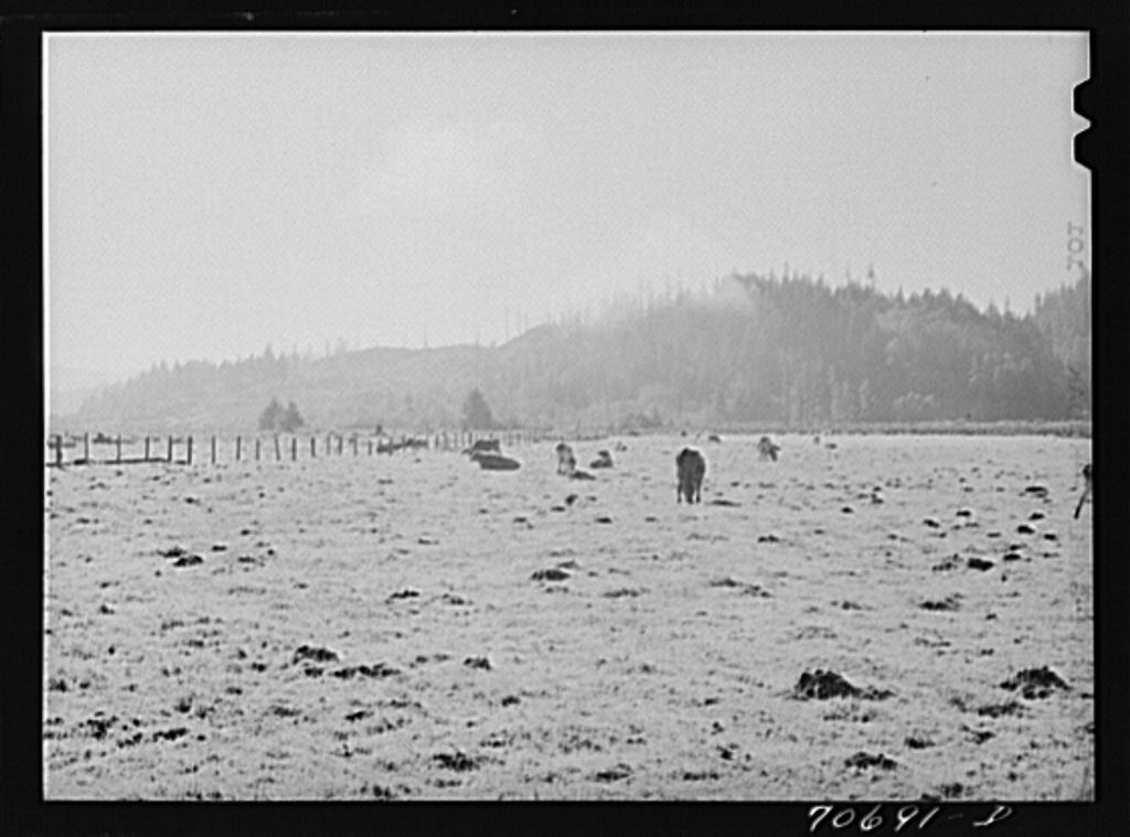 Dairy cattle in the marshy land of Tillamook County, Oregon