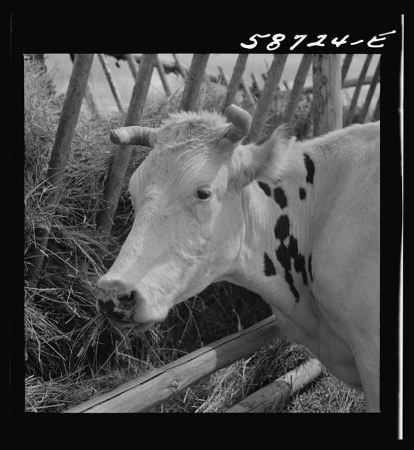 Dairy cow by hay feeding rack near Craig, Colorado