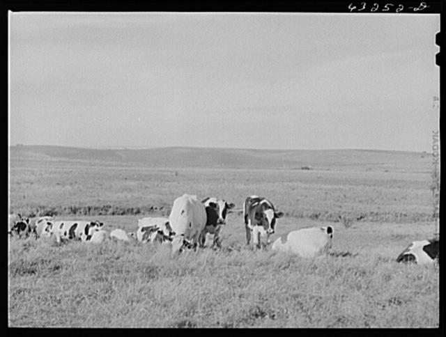 Dairy herd. Dane County, Wisconsin