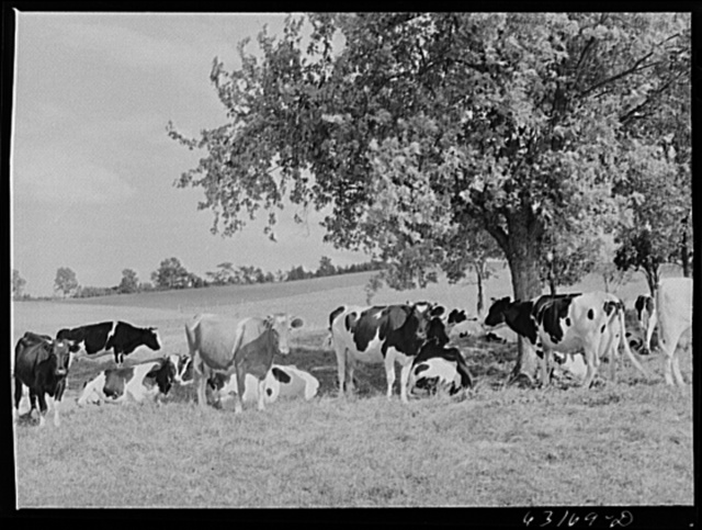Dairy herd. Fond du Lac County, Wisconsin
