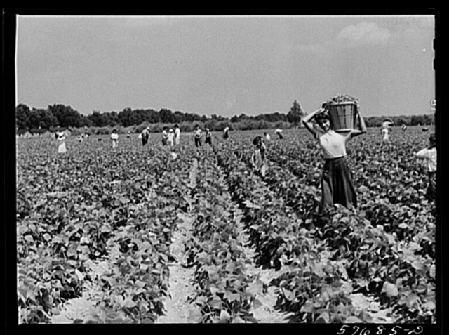 Day laborers to pick stringbeans are bought by trucks from nearby towns. Some even come in their own cars from Philadelphia to work at Seabrook Farms. Bridgeton, New Jersey
