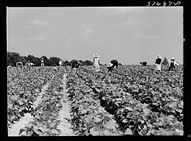 Day laborers to pick stringbeans are brought by truck from nearby towns. Some even come in their own cars from Philadelphia to work at Seabrook Farms. Bridgeton, New Jersey