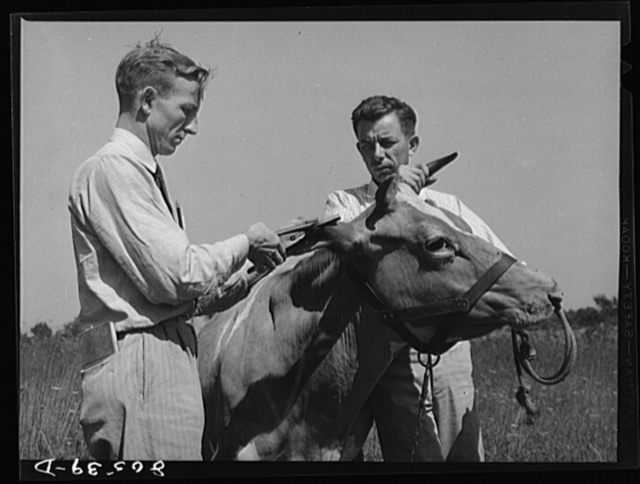 Department of Agriculture veterinarian stapling identification tag on cow's ears after conducting disease test. Farm near Haymarket, Virginia