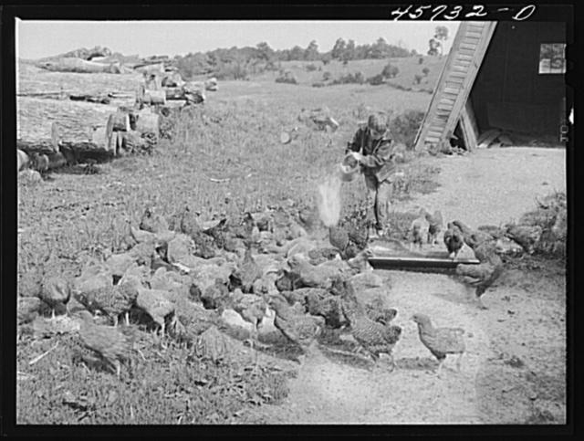 Dicky Gaynor feeding the chickens on their farm near Fairfield, Vermont