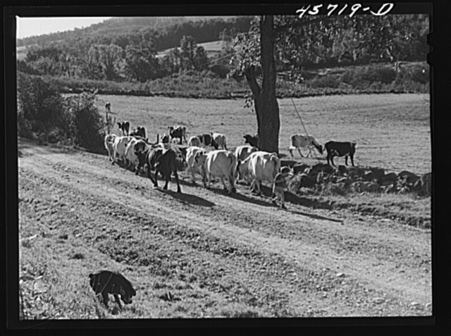 Driving the cows into the pasture on the Gaynor farm near Fairfield, Vermont