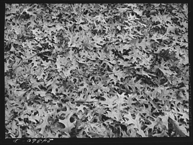 Fallen leaves. New York City suburbs