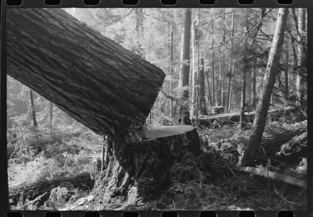 Falling a tree, Long Bell Lumber Company, Cowlitz County, Washington