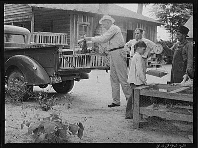 FSA (Farm Security Administration) supervisor McArthur puts the Smart chickens in crates, prior to delivery to Craig Field, Southeastern Air Training Center, Selma, Alabama