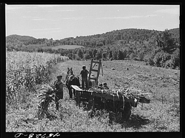 Gathering corn to feed the cows on the farm of William Gaynor, FSA (Farm Security Administration) dairy farmer near Fairfield, Vermont