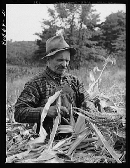 Greenfield (vicinity), Connecticut. Farmer in a cornfield