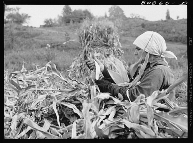 Greenfield (vicinity), Connecticut. Polish immigrant husking corn