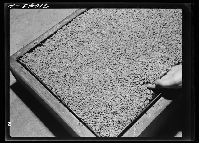 """Guayule rubber """"worms."""" Salinas, California. In the factory the guayule shrub is put through various choppers and chrushers while mixed with liquids. After being crushed and rolled it goes to settling tanks, where these worms from as the bagasse sink to the bottom. Later the worms are dried and go through the rollers to form a cake of rubber"""