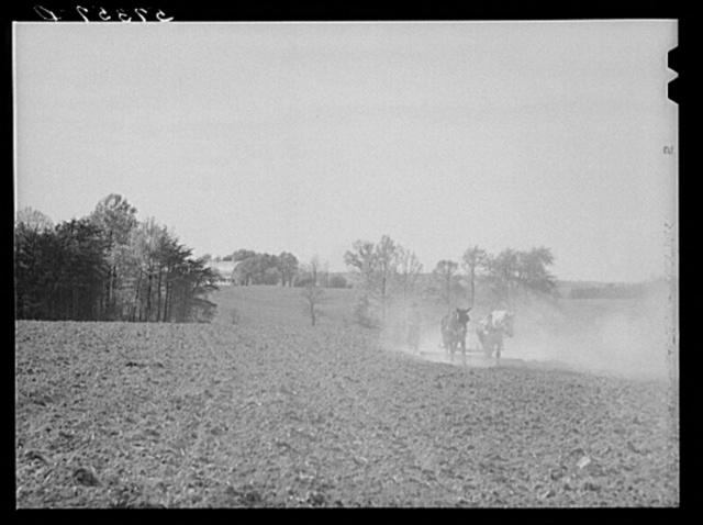 Harrowing cornfield on dairy farm in Fairfax County, Virginia
