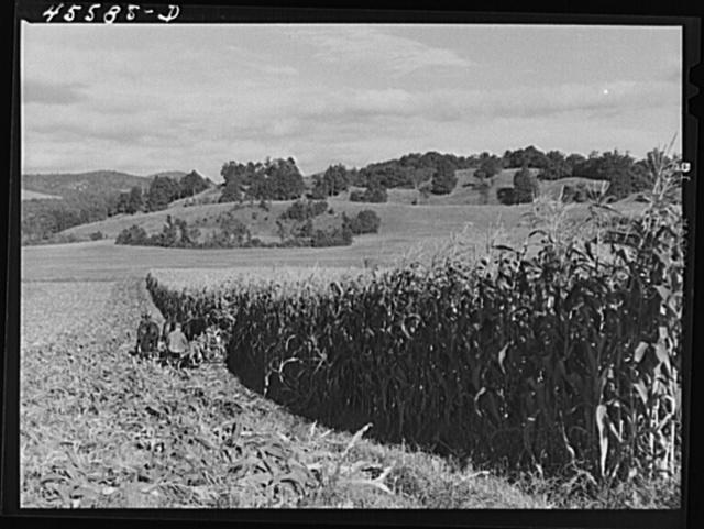 Harvesting corn on a farm near Hinesburg, Vermont