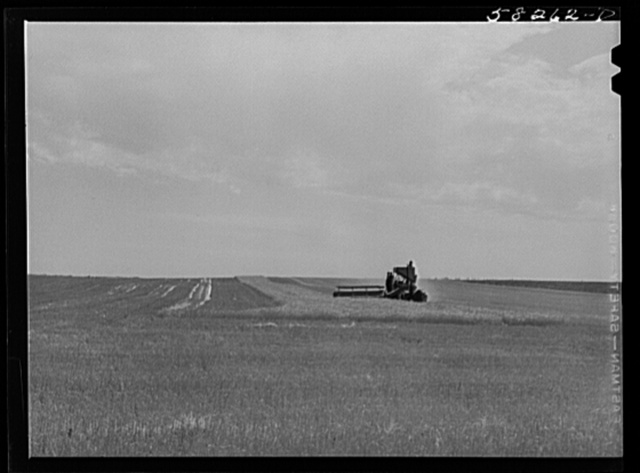 Harvesting wheat with a combine, getting about forty bushels per acre, and a bumper wheat crop. About eight miles north of Culbertson, on the road to Froid, Montana