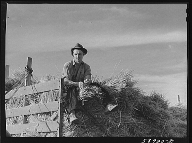 Helper on wagonload of wheat to be threshed on Beerman's ranch at Emblem, Wyoming. He has about 150 acres in all (quarter section), about forty-three in wheat; the rest in oats, beans, and alfalfa. This year they are getting between fifty-five and sixty bushels wheat per acre, whereas ordinarily he gets about forty bushels per acre. He has lived on the place forty years, owned it for the past twenty years.