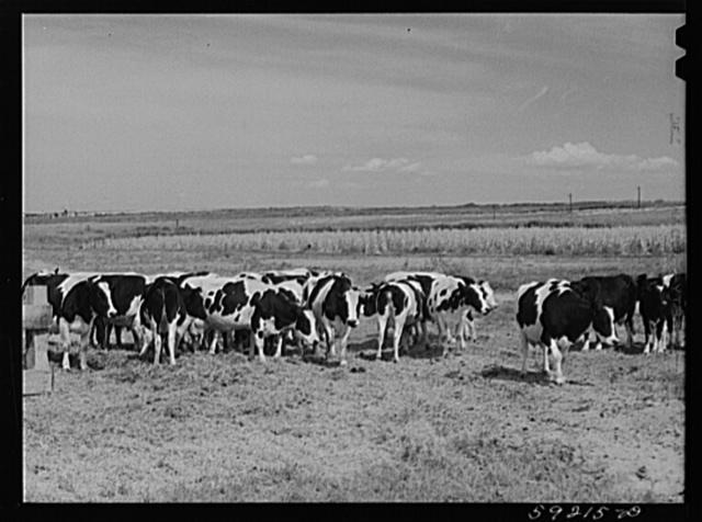 Herd of Holstein cows. Scottsbluff Farmsteads cooperative enterprise. FSA (Farm Security Administration) project. Scottsbluff, Nebraska