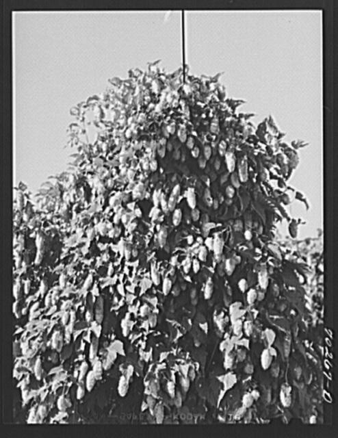 Hop vine. Yakima County, Washington