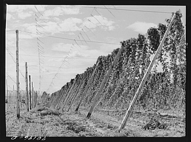 Hop vines. Yakima County, Washington