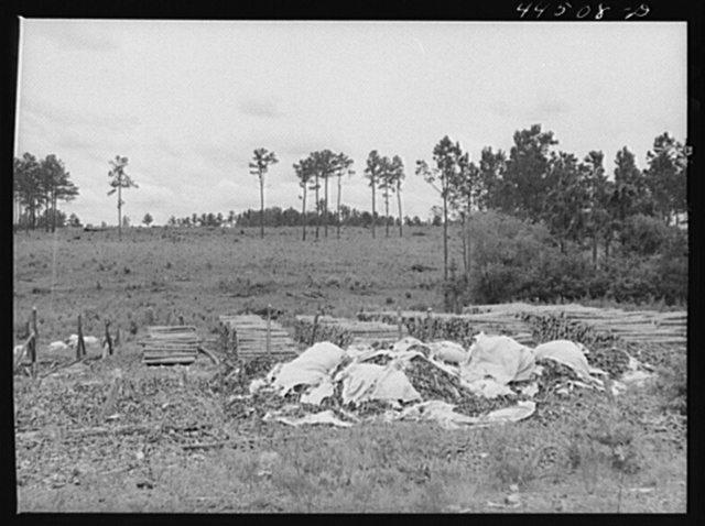 Impregnated pine posts to be used for fencing by FSA (Farm Security Administration). Greene County, Georgia