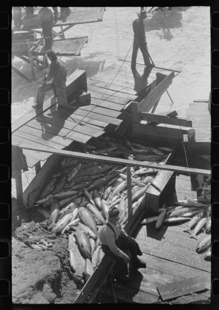 Indian fishing for salmon, Celilo Falls, Oregon. The Indians sell to commercial canneries