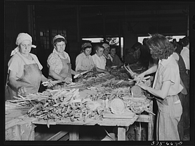 Italian workers from Trenton and nearby areas grading and bunching asparagus in packing house. Starkey Farms, Morrisville, Pennsylvania