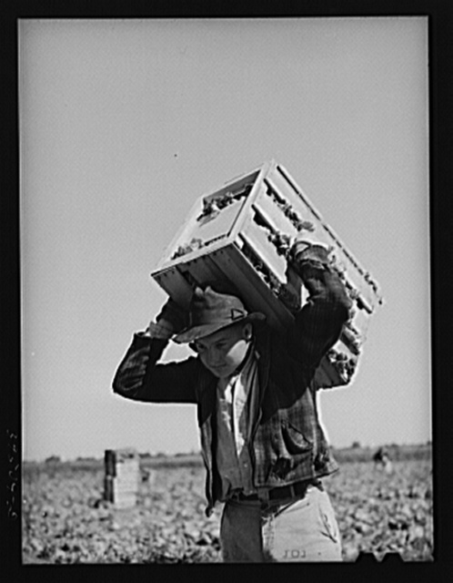 Lettuce picker brings in a crate. Canyon County, Idaho