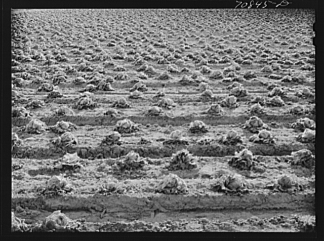 Lettuce rotting in the field. Canyon County, Idaho. When the price went low at the end of the season, the lettuce was left in the fields; in some places cattle and sheep were turned in to eat it, and in others it will be plowed under
