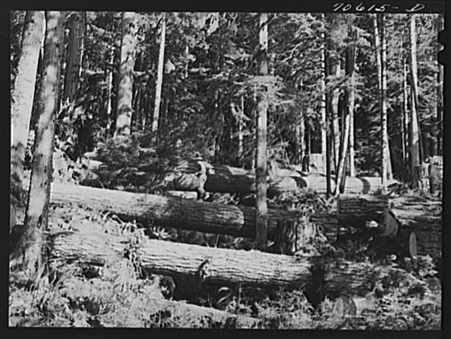Long Bell Lumber Company, Cowlitz County, Washington. Cut fir logs in the woods