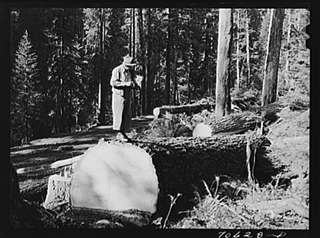 "Long Bell Lumber Company, Cowlitz County, Washington. Timber superintendent in ""tin"" pants on top of a fir log"