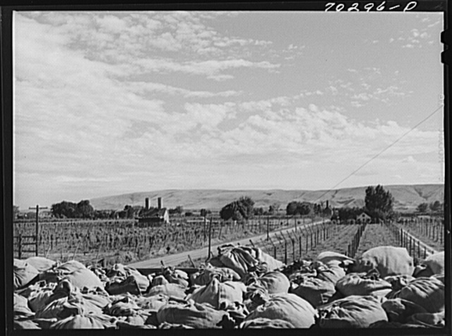 Looking from hop kiln, sacks of green hops in foreground with hop fields and another kiln in background. Yakima County, Washington