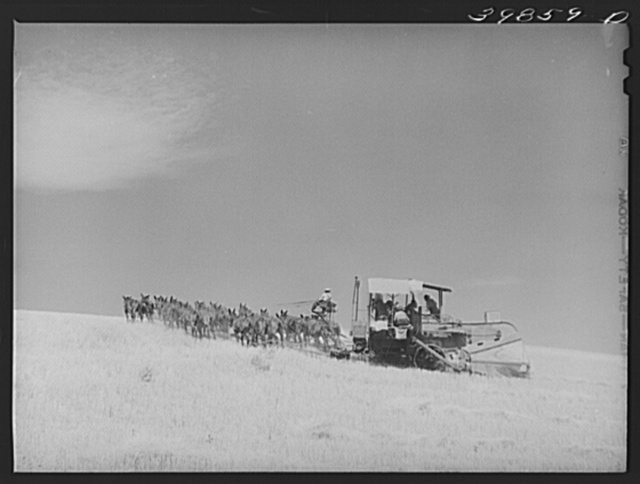 Making a turn with mules-drawn combine in wheat fields in Walla Walla County, Washington