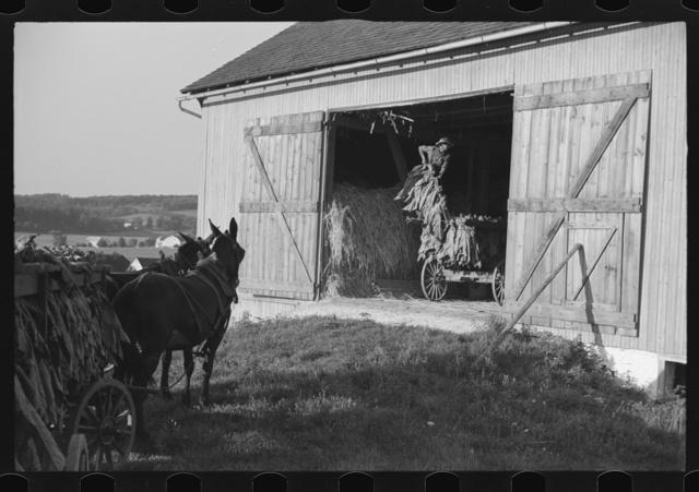 Mennonite farmer putting tobacco into his barn, near Lancaster, Pennsylvania