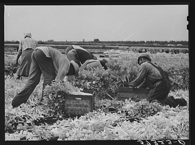 Migratory laborers cutting celery. Belle Glade, Florida