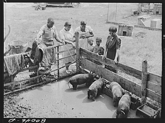 Negro supervisor points out the health hazard in this badly drained pig sty near La Plata, Maryland, Charles County