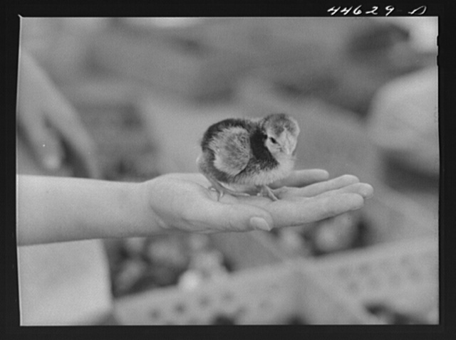 One of the chicks delivered at the Greensboro depot in connection with the FSA (Farm Security Administration) Food for Defense program. Greene County, Georgia