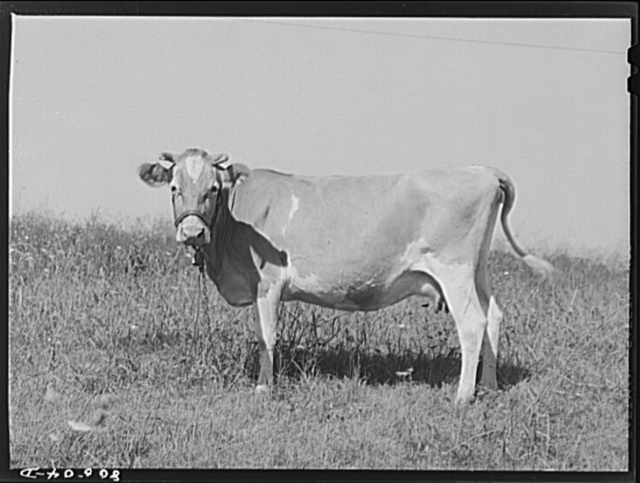 One of the cows on chicken farm operated by a woman near Haymarket, Virginia