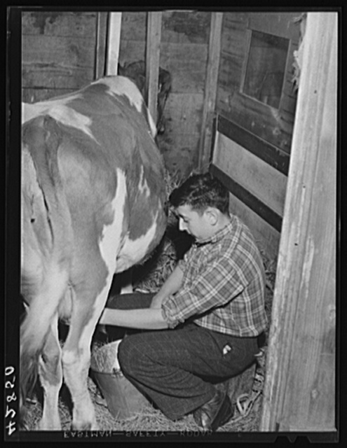 One of the sons of Anthony Forgetta, part time farmer of Andover, Massachusetts, milking the family cow after coming home from school (Mr. Forgetta works on the night shift at the Plymouth mill in north Andover)
