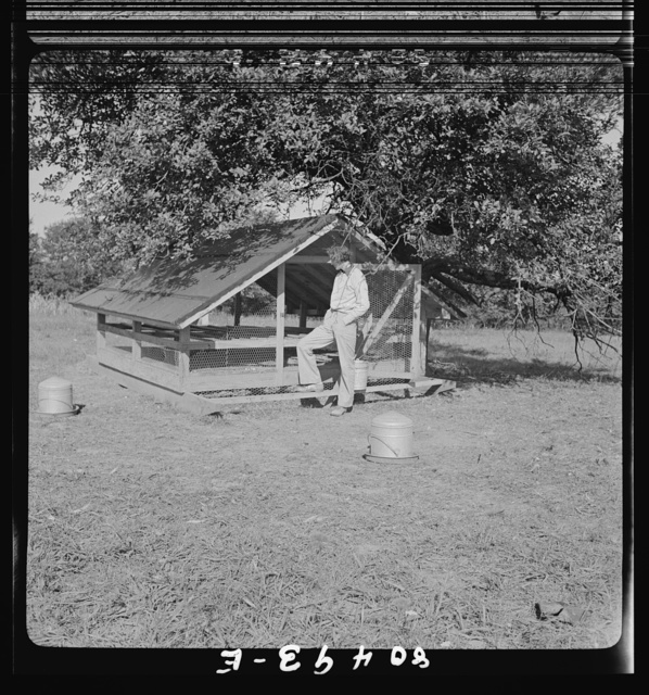 Owner and operator of chicken farm near moveable hen house near Haymarket, Virginia