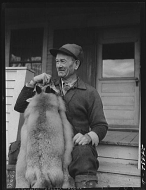 Perley Mosley with three pelts from foxes he trapped at Eden Mills, Vermont