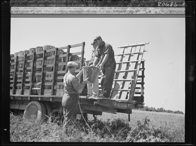Pickers load their baskets directly onto the truck bound for packing plant. Dorchester County, Maryland