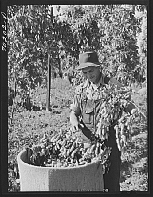 Picking hops, Yakima County, Washington. Workers were paid this year two and a half to four cents per pound.  This man said he could pick one hundred pounds a day