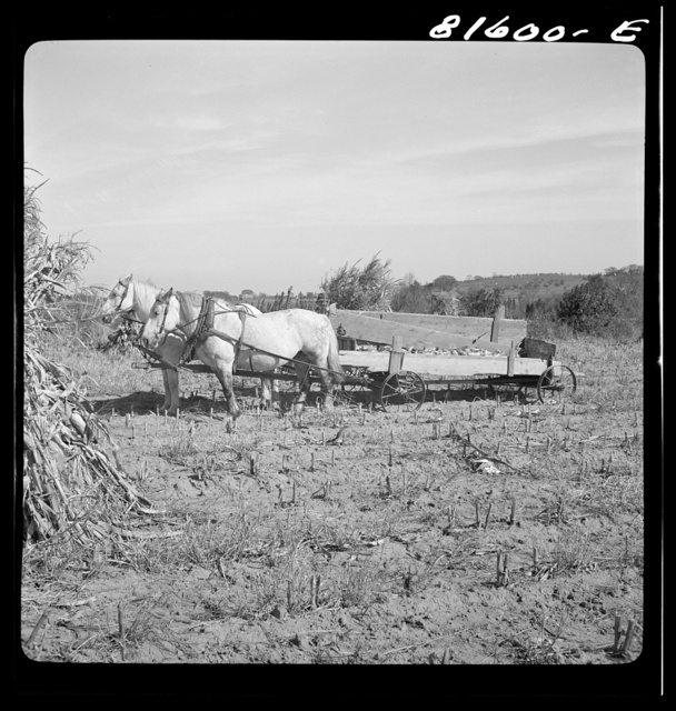 Picking up corn after the reaper has finished. Mambert farm, Hudson River Valley, near Cosackie, New York