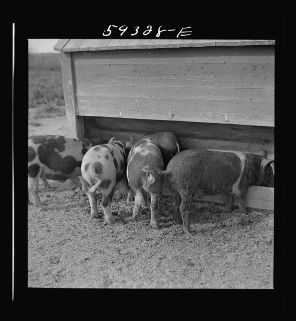 Pigs feeding on Scottsbluff Farmsteads, FSA (Farm Security Administration) project. North Platte River Valley, Nebraska