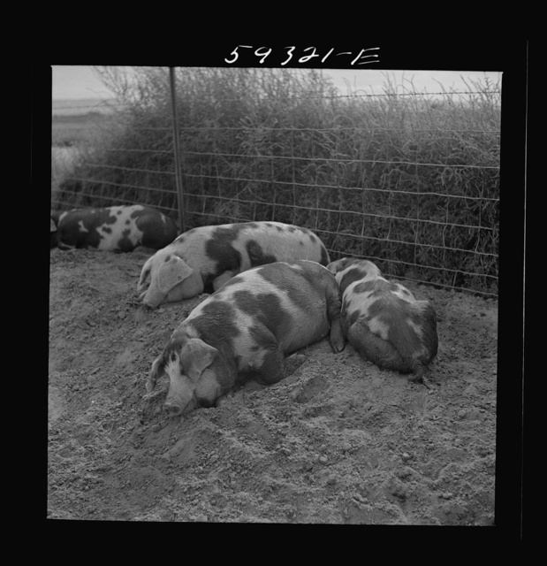 Pigs on Scottsbluff Farmsteads, FSA (Farm Security Administration) project. North Platte River Valley, Nebraska